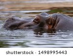 Large Hippopotamus Relaxes In...