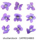 Blue Viola Odorata. Gently ...
