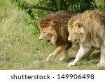 Two Lions Walking Under A Tree
