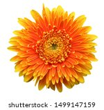 Colorful Gerbera Flower Blosso...