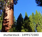 A enormous sequoia shines in the early morning light at California
