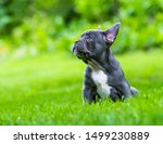 A Very Young French Bulldog...