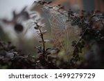 Spider Web On The Bush