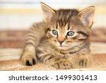 Stock photo cute little grey kitten with blue eyes relaxing closeup portrait of red kitten the kitten looks 1499301413