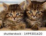Stock photo two cute little grey kitten with blue eyes relaxing closeup portrait of grey kittens the kitten 1499301620