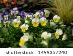Pansy  Pansies  Tricolor ...