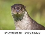 European Otter Close Up