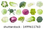 Many Various Headed Cabbages ...