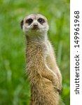 meerkat or suricate  suricata... | Shutterstock . vector #149961968