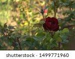 Blooming Flower Red Roses...
