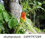 Fruits Of Dragon Arum ...