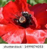 Poppy Natural Macro Summer Red