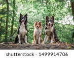 Two Border Collies And A...