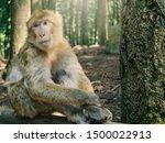 Portrait Of Berber Monkey With...