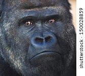 face portrait of a silverback ... | Shutterstock . vector #150028859