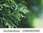 A Thuja Close Up. Thuja Branch...