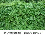 A wall is covered by kudzu...