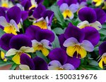 Closed Up Purple Pansy Flowers