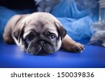 Stock photo pug puppy dog 150039836