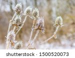 Dry Thistle Fruits Covered Wit...