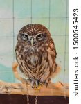 Little Owl or Athene noctua in a cage. House Owl on a chain in a cage in a Pet Zoo. A prisoner little owl is a toy for people. Owl closeup. - stock photo