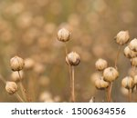 Detail Of Dry Flax Plant...