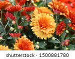 Red Orange Korean Chrysanthemu...