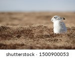 Stock photo without snow the white mountain hare on the cairngorms are exposed to photographer and more 1500900053