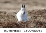 Stock photo without snow the white mountain hare on the cairngorms are exposed to photographer and more 1500900056