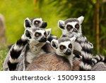 ring tailed lemur  lemur catta  | Shutterstock . vector #150093158
