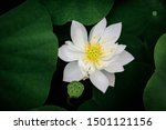 Green Lotus Leaf Lining The...