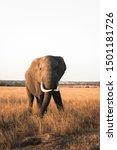 Large African Bull Elephant...