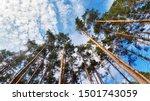 Tree Tops Against Blue Sky....