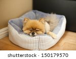 Pomeranian Sleeping On Bed In...