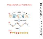 dna replication  protein... | Shutterstock .eps vector #1501818110