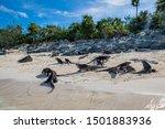 Small photo of The famous wild iguanas of Allen's Cay (Great Exuma, Bahamas).