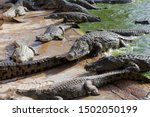 Crocodiles Bask In The Sun....