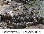 Feeding Crocodiles On A...