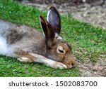 Stock photo mountain hare lepus timidus also known as the white hare 1502083700