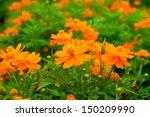 Orange Cosmos Flower.