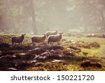 Sheep In The Early Morning...