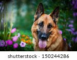 dog breed german shepherd on... | Shutterstock . vector #150244286