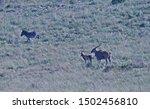 Antelope Including Zebra  Eland ...