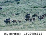 A Group Of Eland And Burchell's ...