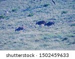 Eland Antelope Coming Down A...