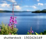 Blooming Yukon Fireweed - Chamaenerion angustifolium - Lac Jaques Cartier in the background in Quebec, CANADA.