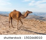 Dromedary Keepers  Camelus...