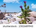 Thistle Plant Against The...