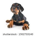 Puppy Doberman Pinscher In...