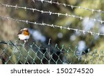 Robin Sat On Barb Wire Fence.